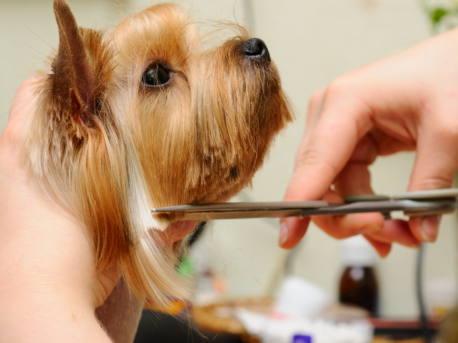Terrier getting groomed